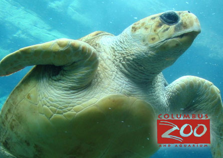 Caretta Caretta Sea Turtle